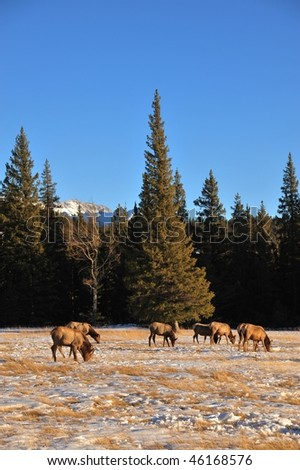 Winter scene of a group of bull elks grazing on meadows, banff national park, alberta, canada - stock photo