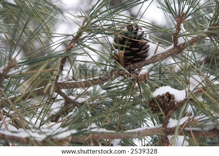Winter scene of a pine tree and pine cone covered in snow and ice. - stock photo