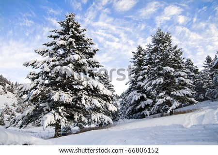 Snow covered pine trees stock images royalty free images - Images of pine trees in snow ...