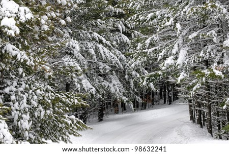 Trees With Snow Pictures Snow-covered Pine Trees on