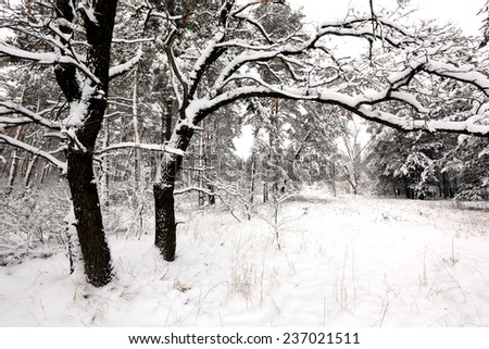Winter scene with oak in forest - stock photo