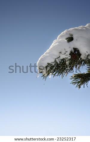 Winter Series 8 - Melting snow in a fir branch - stock photo