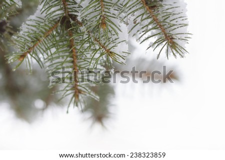 Winter sketch background with fir branches - stock photo