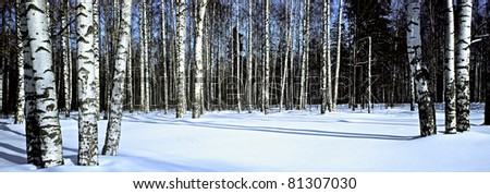Winter snow birch forest, Russia, March, panoramic