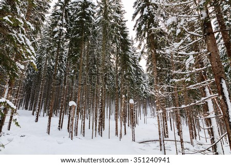 Winter snow covered pine forest in Slovenia
