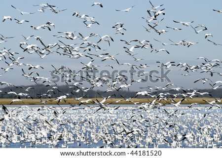 Winter Snow Geese Migration Horizontal - stock photo
