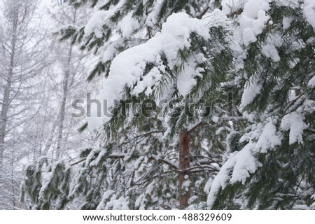winter snow on the spruce