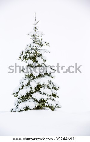 Winter snowy spruce, winter holidays  - stock photo