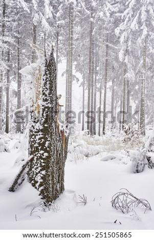 Winter spruce forest with mist in the background - stock photo