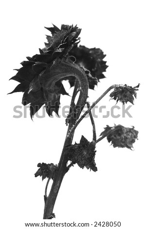 Winter sunflower - stock photo