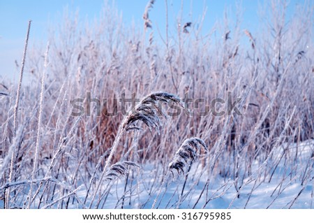 Winter sunset landscape with the snowy field and frozen plants - focus at the central plant, shallow depth of field - stock photo