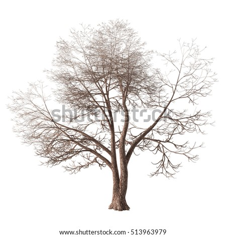 Winter tree with a forked trunk and long bare branches. Isolated on white background with clipping path included. 3D rendering.