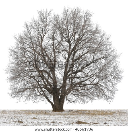 Winter tree without leaves isolated on white - stock photo