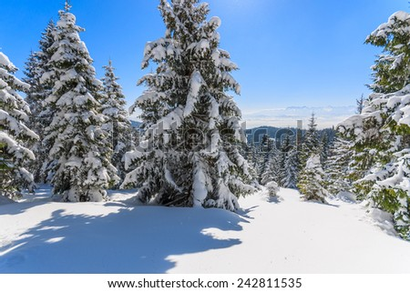 Winter trees after fresh snowfall in Gorce Mountains, Poland - stock photo