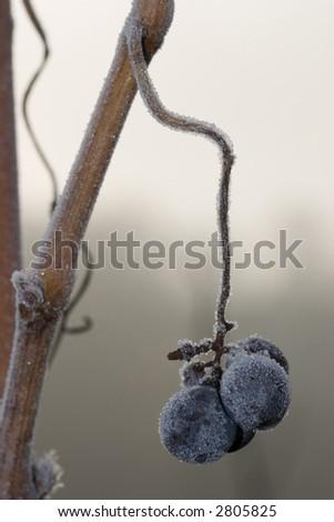Winter vineyard closeup - stock photo