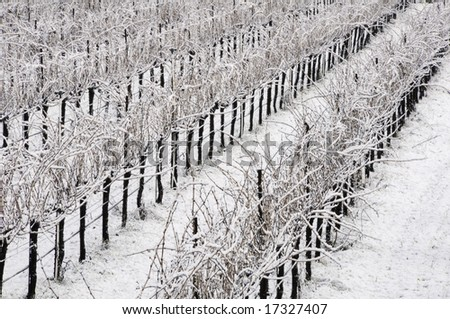 Winter vineyard in Mendocino County, California - stock photo