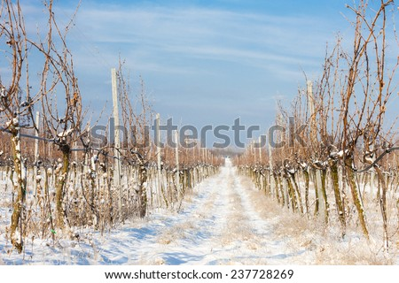 winter vineyard, Southern Moravia, Czech Republic - stock photo