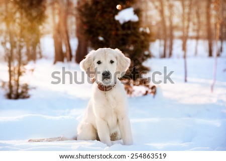Winter walk at snowing park of golden retriever puppy  - stock photo