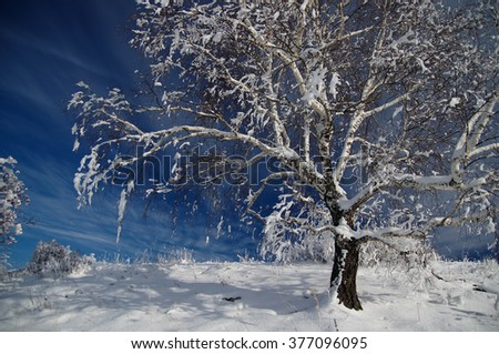 Winter white frozen tree snow birch and traces of a snowmobile on the background of  blue sky. Mountain Altai, Siberia, Russia - stock photo