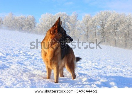 winter with a dog - a German shepherd on a white snow