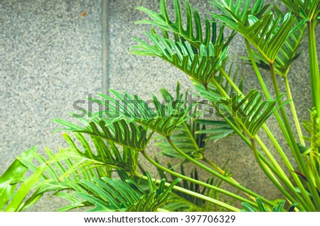 Winterborn Philodendron's leaves with gray background.vintage tone - stock photo