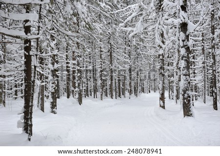 Wintery taiga forest