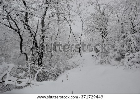 Wintry landscape - Trees in the woods covered with fresh snow in foggy. Heavy snowfall, extremely low temperature. Freezing weather - stock photo