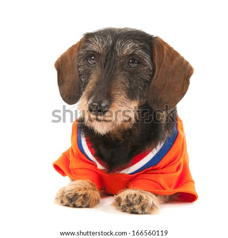 Wire haired dachshund as Dutch soccer sports fan isolated over white background