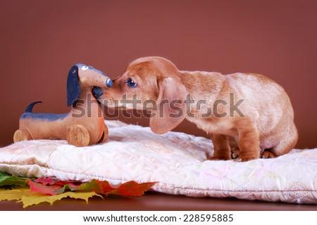 wire-haired dachshund dog - stock photo
