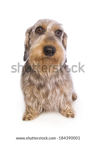 Wire haired dachshund dog sitting  isolated - stock photo