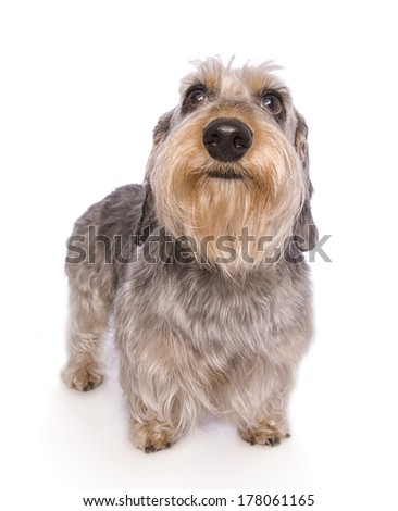 Wire haired dachshund dog standing isolated - stock photo