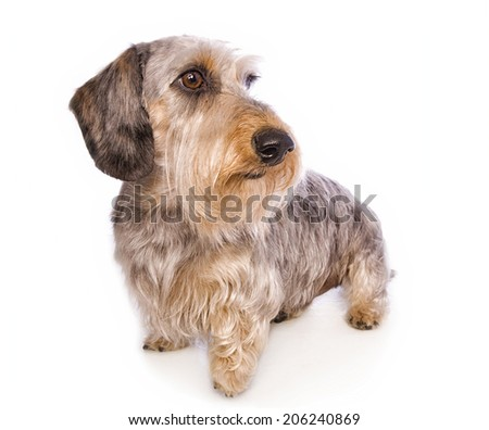 Wire haired dachshund dog standing looking to the side isolated - stock photo