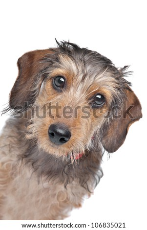 Wire-haired Dachshund in front of a white background - stock photo