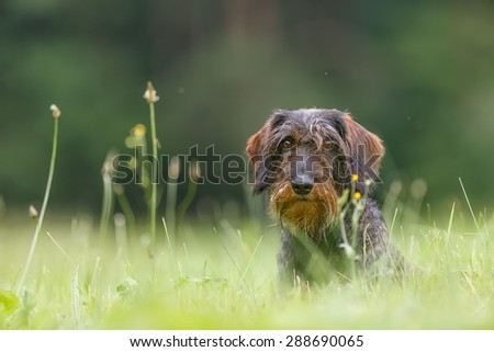wire-haired dachshund in the high grass - stock photo
