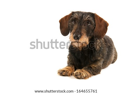 Wire haired dachshund isolated over white background