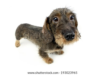 wire haired Dachshund looking up in the camera - stock photo