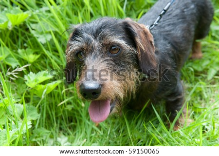 """Wire-haired dachshund or other name """"badger dog"""" - stock photo"""