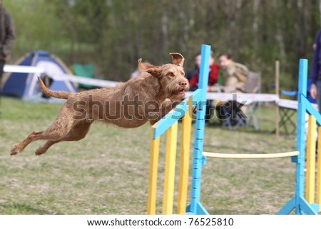 Wire-haired Hungarian Vizsla jumping over the hurdle during agility competition - stock photo