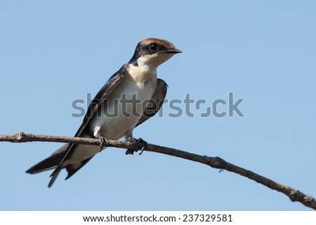 Wire-tailed Swallow (Hirundo smithii) juvenile resting on a branch - stock photo
