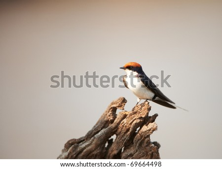 Wire-tailed Swallow (Hirundo smithii) sitting on a tree stump in Botswana - stock photo
