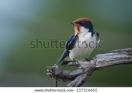 Wire-tailed Swallow screaming - stock photo