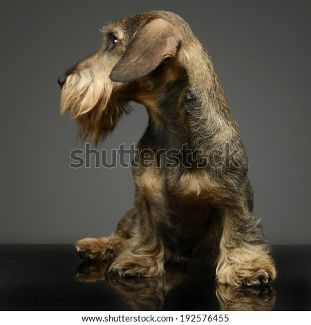 wired hair Dachshund looking left - stock photo
