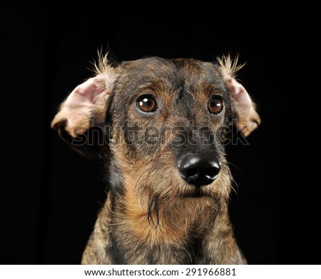 Wired hair dachshund with twisted ears portrait in a black photo studio