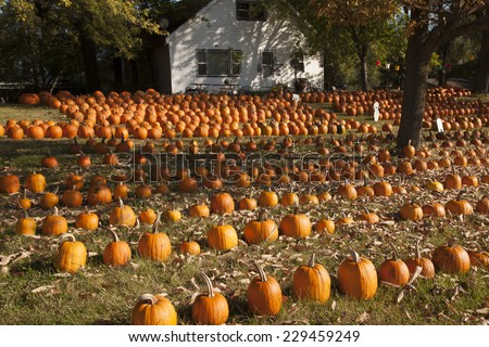 Wisconsin, USA - October 6, 2010:  Pumpkins in lines on the grass with white house in the background