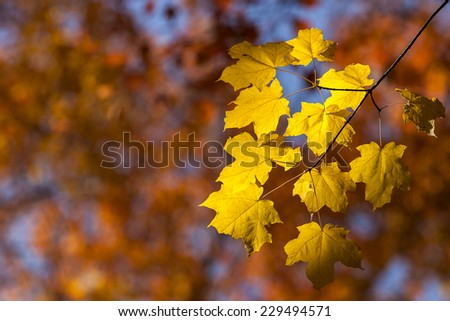 Wisconsin, USA - October 2, 2012:  Yellow fall leaves highlighted in the sun.   - stock photo