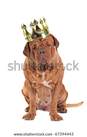 Wise Dog (Dogue De Bordeaux) wearing King's Golden Crown, Isolated On White Background. - stock photo