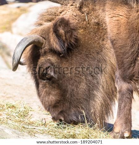 Wisent (European bison) portrait eating grass closeup - stock photo