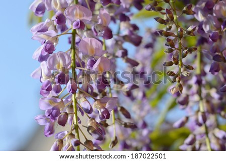 Wisteria,Blossom - stock photo