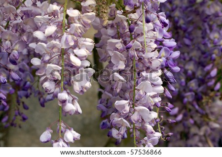 Wisteria blossom Purple wisteria hanging on an old brick wall in the south of England. - stock photo