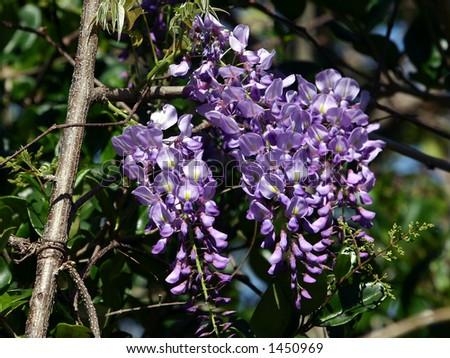 Wisteria flower - stock photo